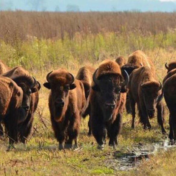 Bison Photo, Newton_County_Kankakee_Sands_buff